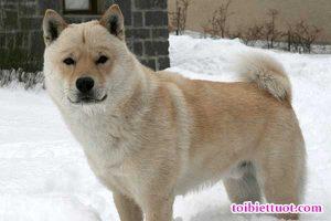 Chó Hokkaido